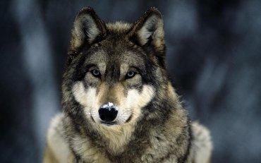 Под Киевом из-за отсутствия людей волки стали выходить на охоту днем